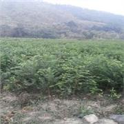 广东红豆杉:市场上便宜的红豆杉都是由绿鑫隆苗木提供