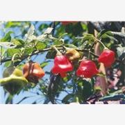 供应观赏辣椒种子灯笼椒种子 观赏辣椒种子灯笼椒种子 风铃椒