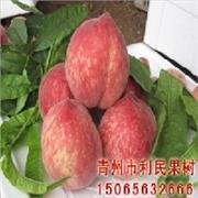 利民果树是信誉好的美佳桃苗生产商――热销的美佳桃苗