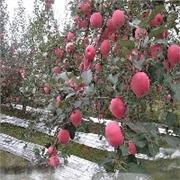 亿诺包装材料公司供应同行中口碑最好的苹果反光膜——果树反光膜厂家