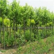 超值的白腊小苗华夏苗木供应|白腊小苗制造商