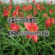 青州鸿运萱草:物超所值的鸿运萱草供应尽在钰鑫花卉苗木基地
