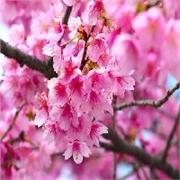 亳州樱花价格——市场上有品质的樱花在哪里可以找到