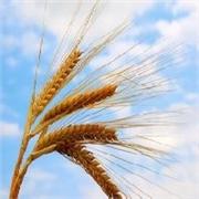 资阳哪里有供应便宜的现金收购小麦