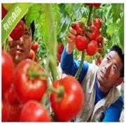 领先的蔬菜种植基地就是众合农业蔬菜_批发蔬菜
