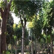 1-2-3-10公分北京栾树价格