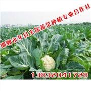 供应绿色蔬菜【义保蔬菜】超市蔬菜直供基地
