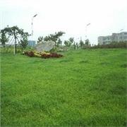 草坪美化,草坪养护,草坪种植,早熟禾生产厂家价格