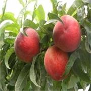 潍坊价位合理的春雪桃苗哪里有供应:青州春雪桃苗