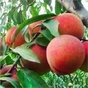 日照晚熟桃苗|价格合理的晚熟桃苗哪里有供应