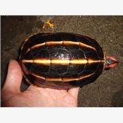 供应陆龟半水栖龟 三龙骨龟 三棱黑龟 养殖价格