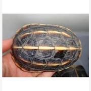供应乌龟 三龙骨龟 三龙骨龟 养殖批发价格