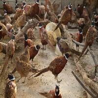 红腹锦鸡养殖基地