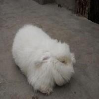 山东省富仕达巨高系珍珠系长毛兔养殖场