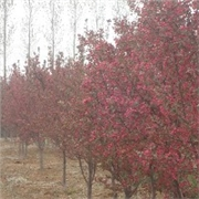 山东北美海棠供应商-北美海棠价格-潍坊宏昇观赏果树