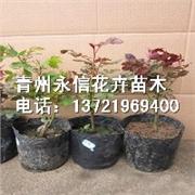 【山东青州种植的多色月季多少钱?批发价格!报价!月季产地!】